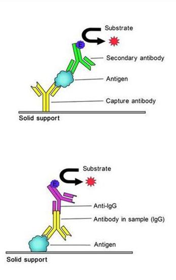 小鼠抗胰蛋白酶ATELISA试剂盒