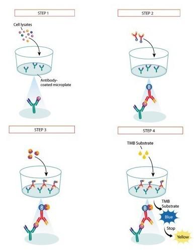 <strong>小鼠组织蛋白去乙酰化酶检测试剂盒</strong>